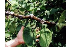 Экстракт экзотического растения кава-кава (перец опьяняющий, лат. Piper methysticum) может вылечить хроническое беспокойство и стресс.