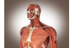 Особые типы стволовых клеток, трансплантированные в мышцы, могут предотвратить старение мышц, снижение их функциональности и уменьшение их массы.