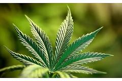 Израильские ученые начали исследования, в результате которых ходят выяснить влияние каннабиса (марихуаны) на раковые клетки.